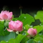 Những công dụng làm đẹp từ hoa sen - la sen  tr 150x150