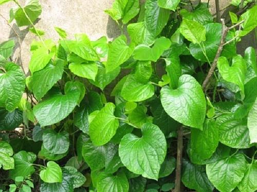 mặt nạ lá cây dưỡng trắng da, trị mụn nám, chống lão hóa