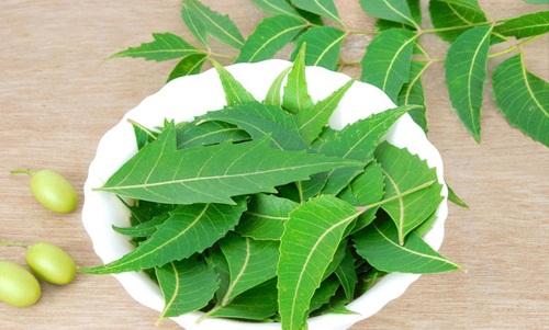 Làm đẹp da, trị mụn cực kỳ hiệu quả với lá cây sầu đâu (lá neem Ấn Độ) - 1434358802 iwdstoc dv4 syyq