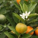 4 bài thuốc đơn giản ngâm rượu giúp xóa nếp nhăn hiệu quả - cây quất 150x150