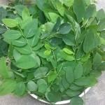 Tuyệt chiêu trị nám, tàn nhang cực kỳ hiệu quả bằng rau xanh - rau ngót 150x150