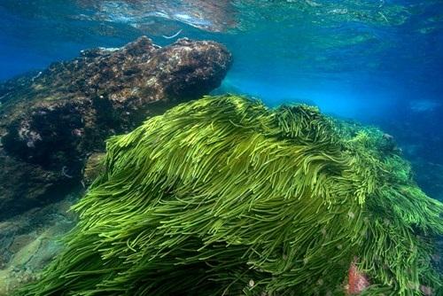 Tảo Spirulina là gì? Tác dụng trị nám của tảo Spirulina (tảo mặt trời) như thế nào? - hình tao bien spirulina