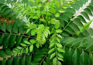 lá cây ca-ri