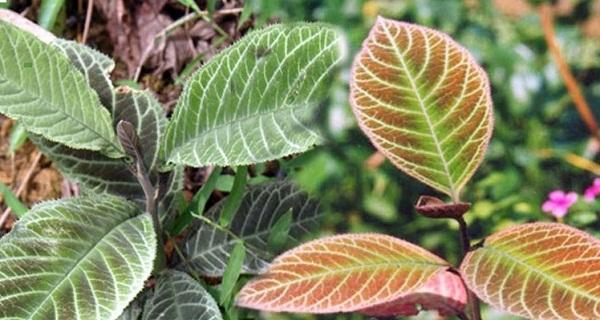 2 loại cây chữa đau dạ dày cực kỳ hiệu quả - cây lá khôi