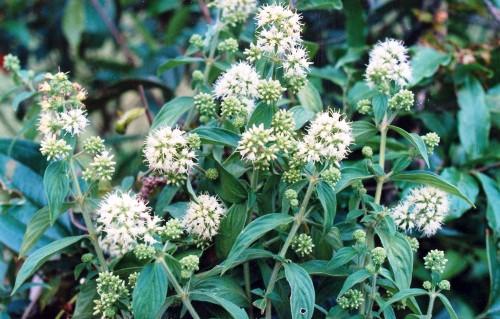 2 loại cây chữa đau dạ dày cực kỳ hiệu quả - cây dạ cẩm