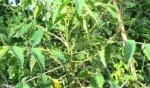 Khổ sâm cho lá – cây thuốc nam chữa đau dạ dày hiệu quả - cay kho sam 150x88