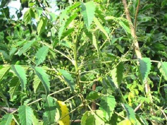Khổ sâm cho lá – cây thuốc nam chữa đau dạ dày hiệu quả - cay kho sam