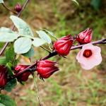 Bụp giấm: Thuốc  chữa viêm hang vị dạ dày hiệu quả - ban hoa bup giam hibiscus 3 150x150
