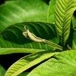 5 loại lá cây chữa đau dạ dày dễ tìm và cực rẻ - chua hoi mieng bang la oi 150x150