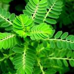 3 cây thuốc quanh vườn giúp trị nám hiệu quả ở tại nhà - cay cho de rang cua 150x150
