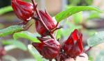 Công dụng thật sự của hoa bụp giấm (atiso đỏ) là gì? - hoa bup giam 150x88