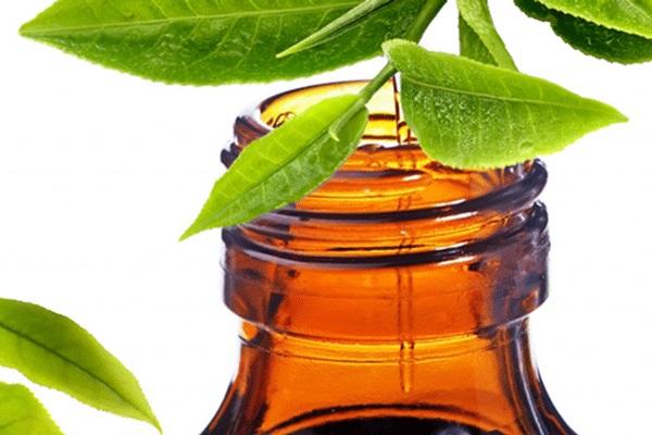 cây trà tinh dầu làm đẹp da tại nhà