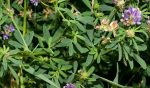 23 lợi ích tuyệt vời của cỏ linh lăng cho da, tóc và sức khỏe - co linh lang 1 150x88