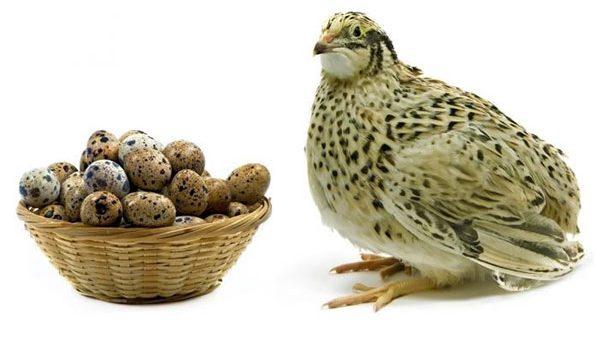 10 lợi ích sức khỏe tuyệt vời của trứng cút - trung va chim cut 600x350