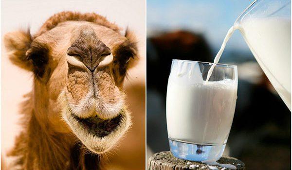 Sữa lạc đà: Lợi ích và dinh dưỡng - sua lac da 1 600x350