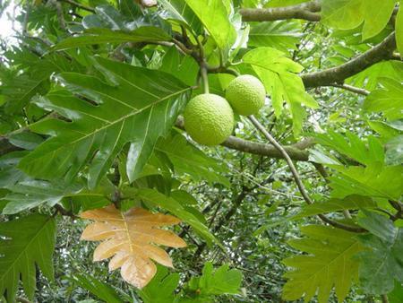 Lợi ích sức khỏe của trà lá sa kê - cây sa kê