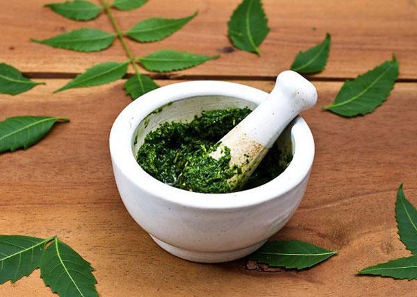 Lợi ích, công dụng, lịch sử và tác dụng phụ của cây neem - giã lá neem 2