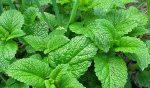 9 lợi ích tuyệt vời cho sức khỏe của trà tía tô đất - tia tdat 150x88