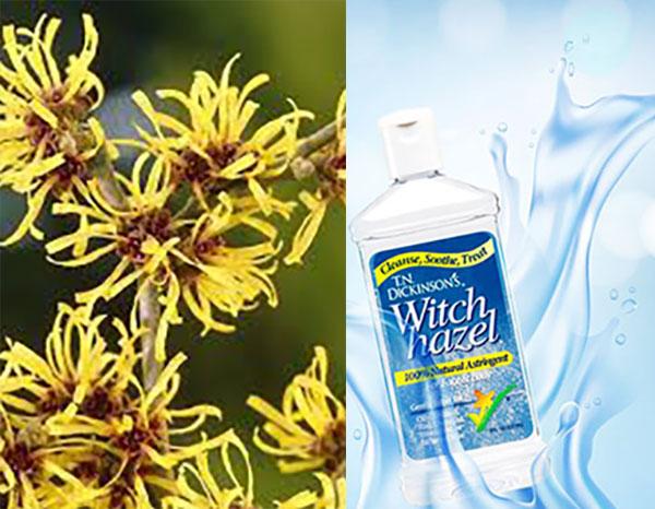 Cách trị mụn hiệu quả bằng nước cây phỉ (Witch Hazel) - witch hazel hoa cay phi